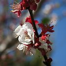 Sunlight Embracing Apricot Blossom by taiche