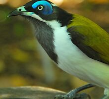 Blue Faced Honeyeater by Penny Smith