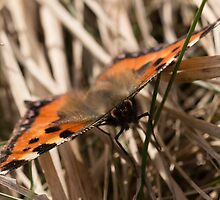 Small Tortoiseshell Butterfly by Robert Carr