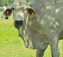 Brahmin Bull Portrait by Penny Smith