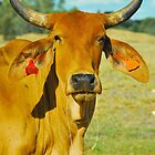 Brahmin Bull Portrait # 2 by Penny Smith