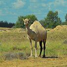 Wild Aussie Camel by Penny Smith