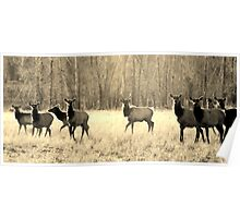 Herd of elk ~ Sepia Poster