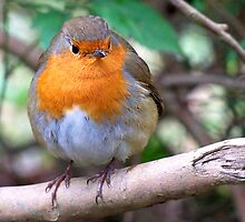 Little Robin Redbreast  by hootonles