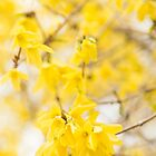 Fabulous Forsythia by Anne Gilbert