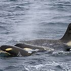 Orcas in the Antarctic by Kaz-antarctica