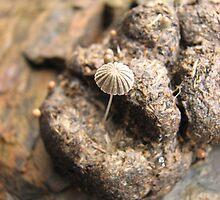 Mushroom growing out of a wombat turd, Caudry's Reward osmiridium mine, Tarkine, western Tasmania by Nic Haygarth