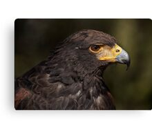 Harris' Hawk Canvas Print