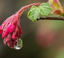 Flowering currant and raindrop by Judi Lion