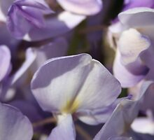 Close Up Of Lavender Wisteria Blossom by taiche
