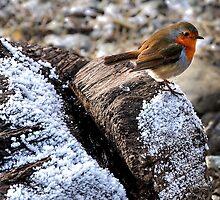 Robin ( The angel of birds ) by Darren Bailey LRPS