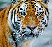 Attentive tiger by Kartonpat
