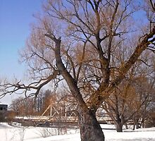 Willow tree - March 24, 2014, Ottawa, ON Canada by Shulie1