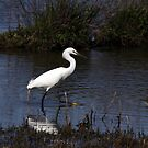 Snowy Egret by Kimberly Palmer