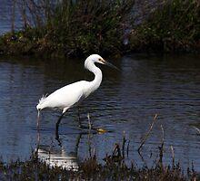 Snowy Egret by Kimberly Palmer