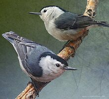 two happy white breasted nuthatches by R Christopher  Vest