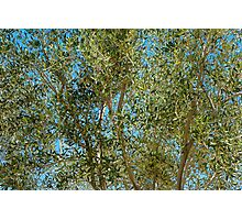 Olive Branches and Sky Photographic Print