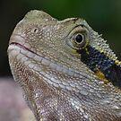 Male Water Dragon Lizard by stevealder