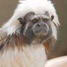 Cottontop Tamarin at Halls Gap Zoo by Aden Brown