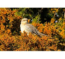 Mockingbird 5 Photographic Print