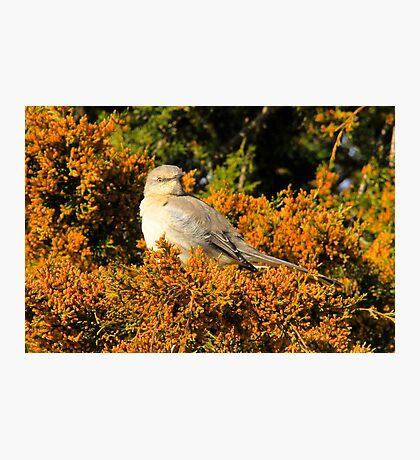 Mockingbird 5 Photographic Print