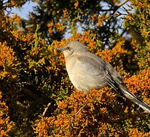 Mockingbird 4 by NatureGreeting Cards ©ccwri
