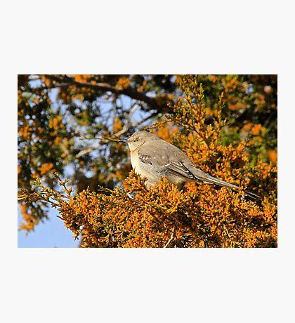 Mockingbird 2 Photographic Print