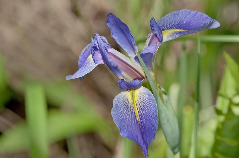 For Love of Iris  by John  Kapusta