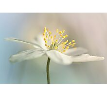 Loveable Wood Anemone... Photographic Print