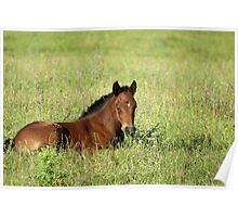 horse foal in summer pasture Poster