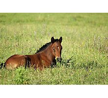 horse foal in summer pasture Photographic Print