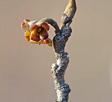 Witch Hazel Springtime Twig - Hamamelis by MotherNature2