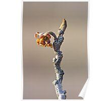 Witch Hazel Springtime Twig - Hamamelis Poster
