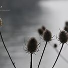 """"""" Sleeping Teasels Along The River """" by Richard Couchman"""