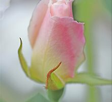 Hint Of Pink by Chet  King