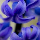 Blue hyacinth by flashcompact