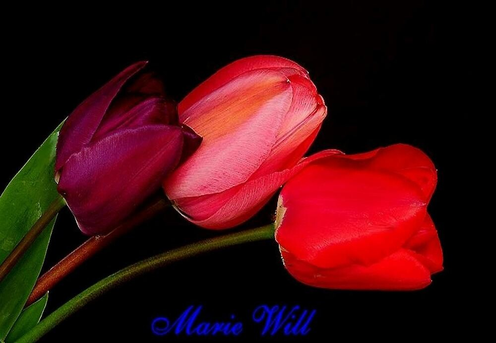 THREE DIFFERENT TULIPS~ by RoseMarie747