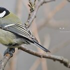 """ Young Feathers "" (Parus Major) by Richard Couchman"