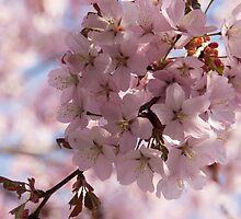 Pink Spring - A Cloud of Delicate Cherry Blossoms by Georgia Mizuleva