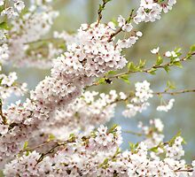 soft spring cherry tree by Janneke Broeksteeg