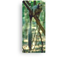 A lemur's tail Canvas Print