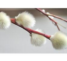 Pussy Willow Greeting Card by Mariola Szeliga