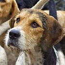 A Welsh Fox Hound by partridge