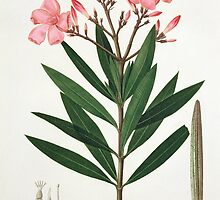 Oleander from 'Phytographie Medicale' by Bridgeman Art Library