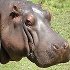 Grazing Hippo Interrupted. by Trish Meyer