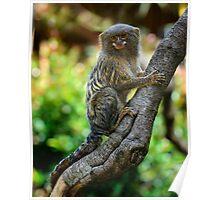 Pygmy Marmoset Poster