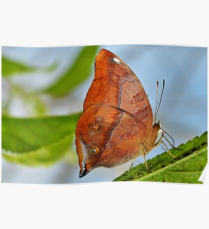 Banded King Shoemaker Butterfly Poster
