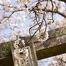 torii spring sakura by parisiansamurai