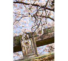 torii spring sakura Photographic Print