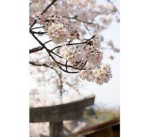 spring cherry blossom Photographic Print